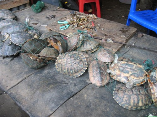 Turtles for Sale